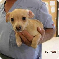 Adopt A Pet :: A571591 - Oroville, CA