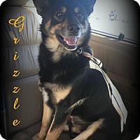 Adopt A Pet :: Grizzle - Denver, NC