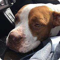 Adopt A Pet :: Lady - Orlando, FL