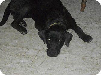 Pippa Adopted Dog Hancock Mi Labrador Retriever