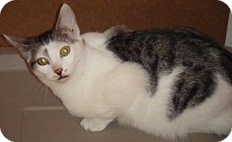 Domestic Shorthair Kitten for adoption in Kensington, Maryland - Sonny