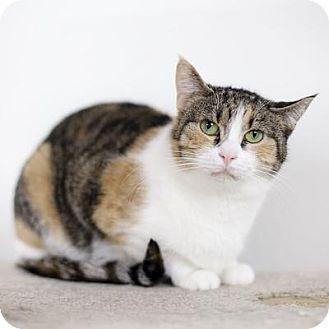 Domestic Shorthair Cat for adoption in Denver, Colorado - Kika