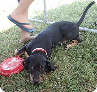 Black and Tan Coonhound Mix Puppy for adoption in Pocahontas, Arkansas - Tara