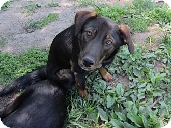 Shepherd (Unknown Type)/Hound (Unknown Type) Mix Dog for adoption in Richmond, Virginia - Koko