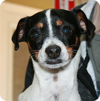 Flower Adopted Dog San Antonio Tx Rat Terrier