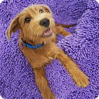Adopt A Pet :: DUSTIN - Mission Viejo, CA