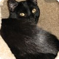Adopt A Pet :: Shimon - Middletown, CT