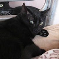 Domestic Shorthair Cat for adoption in Oviedo, Florida - Luke