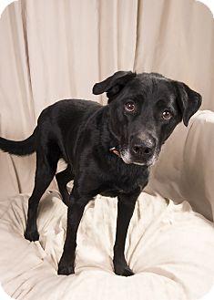 Labrador Retriever Mix Dog for adoption in St. Louis, Missouri - Roco Labmix