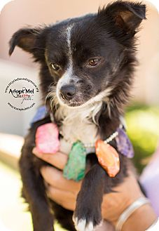 Pomeranian/Chihuahua Mix Dog for adoption in Inland Empire, California - HUMPHREY