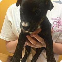 Adopt A Pet :: Lauren - Rocky Mount, NC