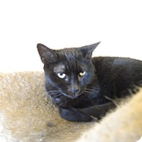 Domestic Shorthair Cat for adoption in Jupiter, Florida - Mahira