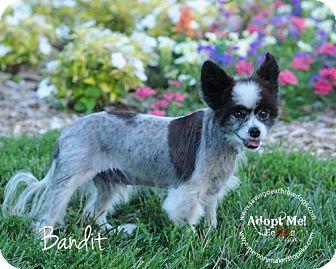 Papillon Dog for adoption in Topeka, Kansas - Bandit