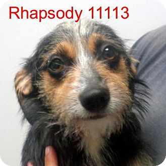 Dachshund/Jack Russell Terrier Mix Dog for adoption in Alexandria, Virginia - Rhapsody