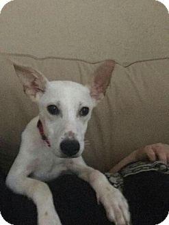 Collie/Australian Shepherd Mix Dog for adoption in Houston, Texas - Koda Bear