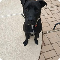Labrador Retriever/Greyhound Mix Puppy for adoption in Mesa, Arizona - Jameson