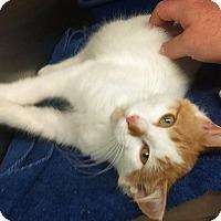 Adopt A Pet :: twinkle - Bayside, NY