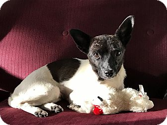 Rat Terrier/Toy Fox Terrier Mix Dog for adoption in Denver, Colorado - Tiana