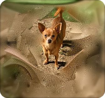 Chihuahua Dog for adoption in Normal, Illinois - Chachi
