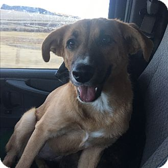 Collie/German Shepherd Dog Mix Dog for adoption in Englewood, Colorado - Moses
