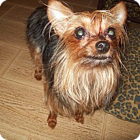 Yorkie, Yorkshire Terrier Mix Dog for adoption in San Antonio, Texas - Daisy Doodle