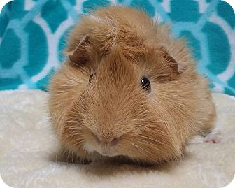 Guinea Pig for adoption in South Bend, Indiana - Spike