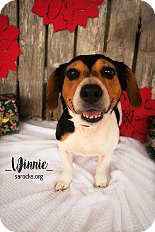 Beagle/Basset Hound Mix Dog for adoption in San Antonio, Texas - Winnie