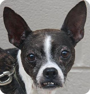 Gertrude | Adopted Dog | Atlanta, GA | Boston Terrier Mix Selkirk Rex Atlanta