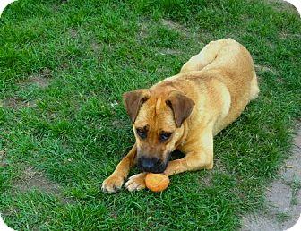 Boxer shar pei mix dog for adoption in bloomington minnesota cocoa