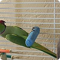 Adopt A Pet :: Raja - Punta Gorda, FL