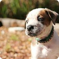 Adopt A Pet :: Blitzen - Austin, TX