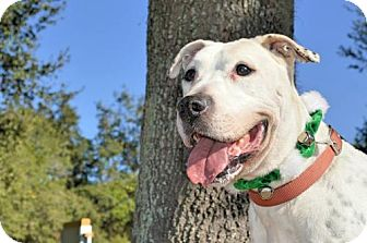 American Bulldog/Boxer Mix Dog for adoption in Ocoee, Florida - Shiner