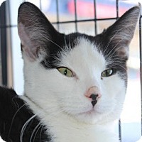 Adopt A Pet :: Syrah - Caistor Centre, ON
