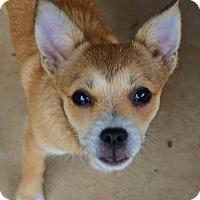 Adopt A Pet :: *Adele - PENDING - Westport, CT