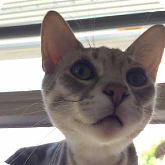 Domestic Shorthair Cat for adoption in St. Charles, Illinois - AJ