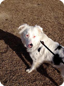 Australian Shepherd Dog for adoption in Barnwell, South Carolina - Noah