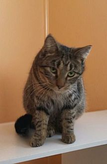 Domestic Shorthair Cat for adoption in Port Clinton, Ohio - Dusty