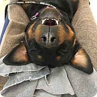 Adopt A Pet :: Marleigh - Gilbert, AZ