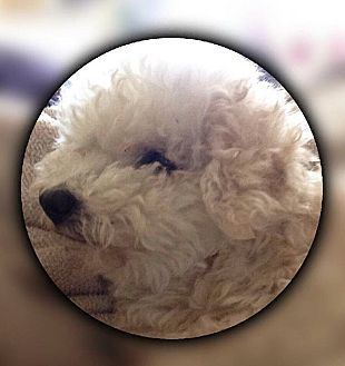 Poodle (Miniature)/Bichon Frise Mix Dog for adoption in San Ysidro, California - Flipy