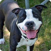Adopt A Pet :: Benjamin - Troy, MI