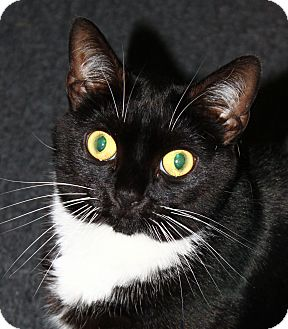 Domestic Shorthair Cat for adoption in North Branford, Connecticut - Katniss Everdine