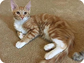 Domestic Mediumhair Cat for adoption in Tega Cay, South Carolina - Gunther