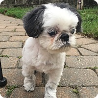 Shih Tzu Mix Dog for adoption in Rye Brook, New York - Jack