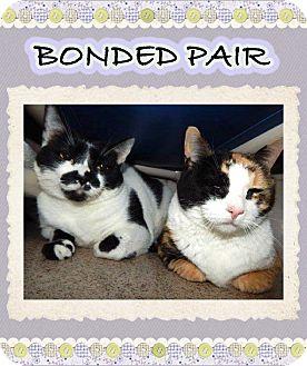 Domestic Mediumhair Cat for adoption in Mansfield, Texas - Sissy
