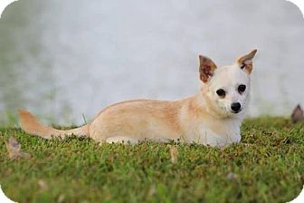 Chihuahua Mix Dog for adoption in Newport, Kentucky - Tiki Lee