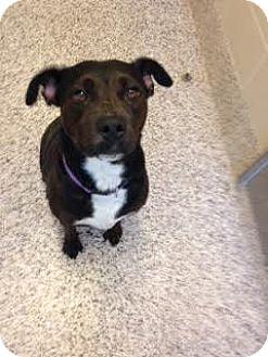 Labrador Retriever/Pit Bull Terrier Mix Dog for adoption in Aiken, South Carolina - Tassie