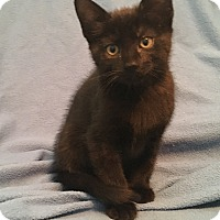 Domestic Shorthair Kitten for adoption in Greensburg, Pennsylvania - Roberto