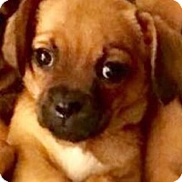 Chihuahua/Pug Mix Puppy for adoption in Longview, Texas - Gabby
