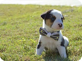Border Collie Mix Puppy for adoption in Aubrey, Texas - Jake