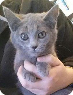Domestic Shorthair Kitten for adoption in Washburn, Missouri - Yasmine